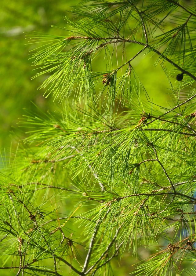 Pijnboom royalty-vrije stock afbeelding