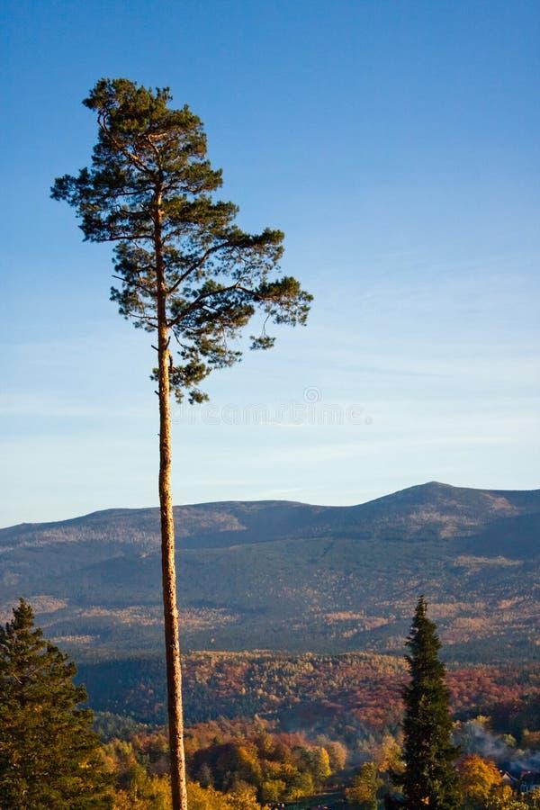 Pijnboom stock afbeeldingen