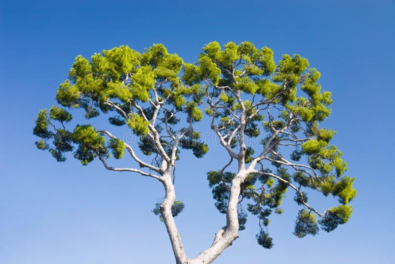 Pijnboom-boom op blauwe hemelachtergrond royalty-vrije stock foto