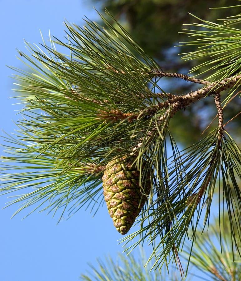 Pijnboom-boom tak stock afbeeldingen