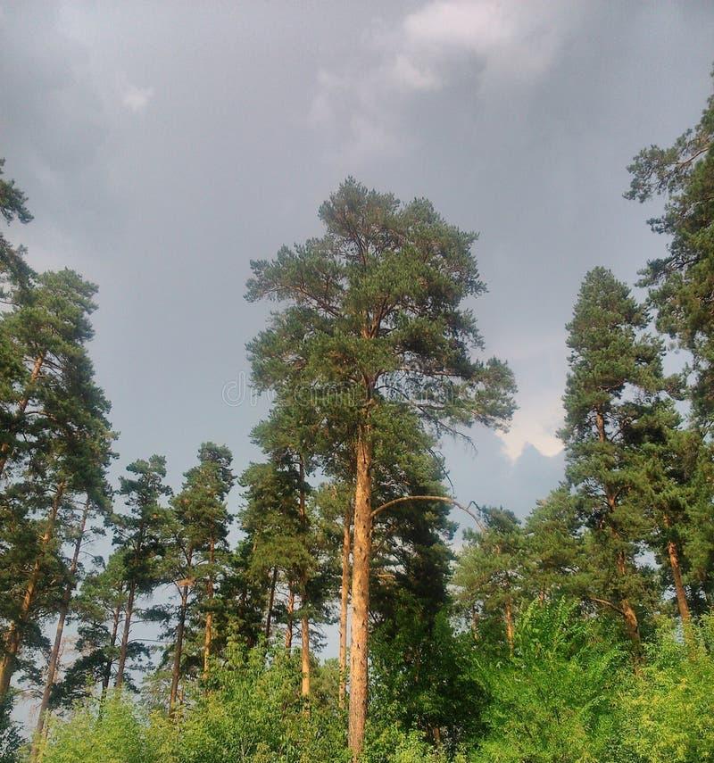Pijnboom in cloudlebos stock foto