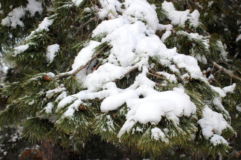 Pijnboom in de sneeuw stock fotografie