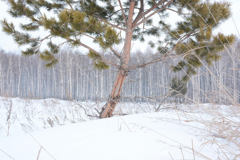 Pijnboom en berkbomen in de winter stock fotografie