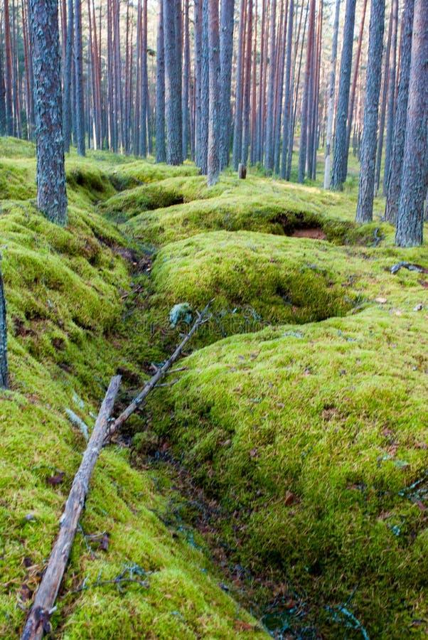 Pijnboom Forest Echo van Oorlog royalty-vrije stock afbeelding
