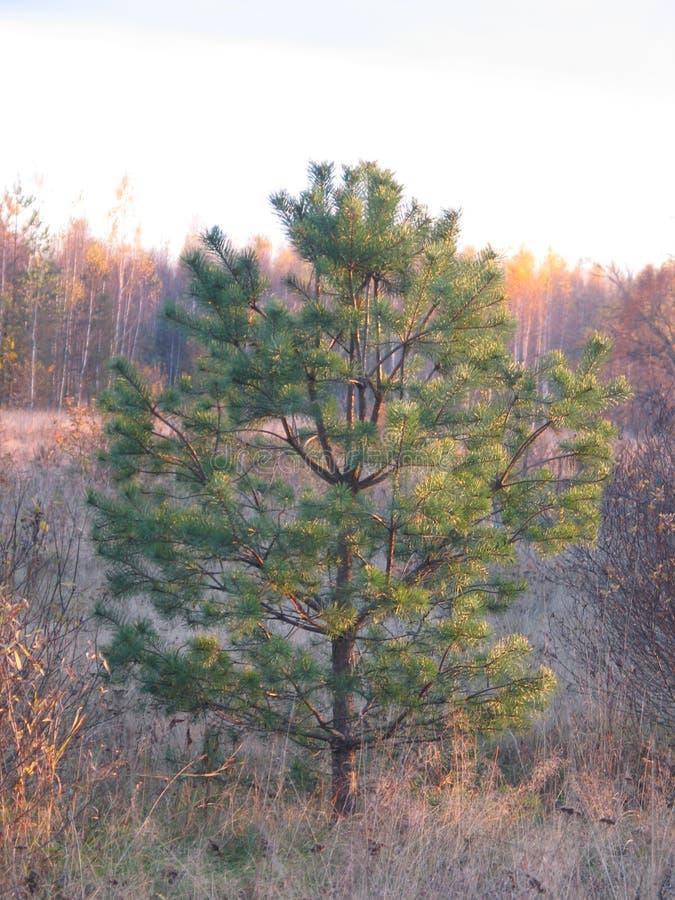 Pijnboom het groeien stock afbeelding