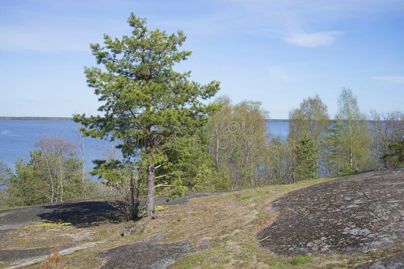 Pijnboom het groeien op de rotsen op een de lentedag De Golf van de kust van Finland dichtbij de stad van Vysotsk stock afbeelding