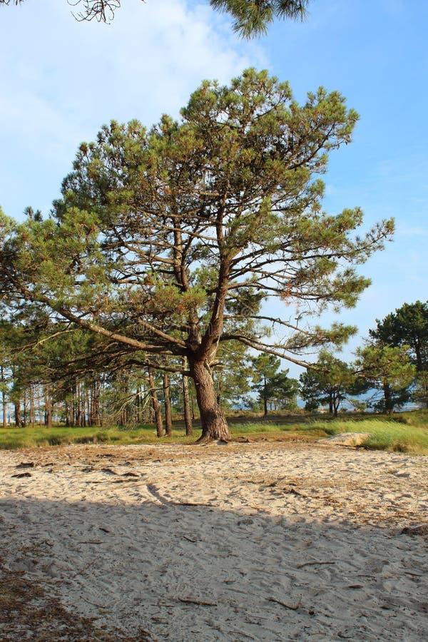 Pijnboom in het strand royalty-vrije stock afbeeldingen