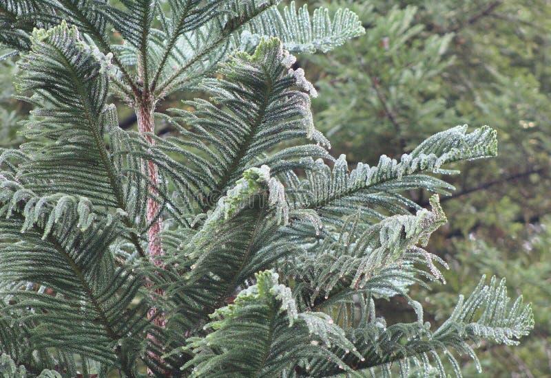 Pijnboom onmiddellijk na regen royalty-vrije stock fotografie