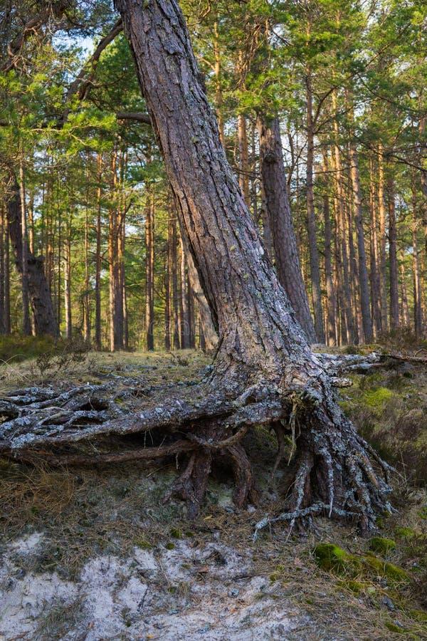 Pijnboom op de rand van het duin, op seashorein de Golf van Riga, Letland stock foto's