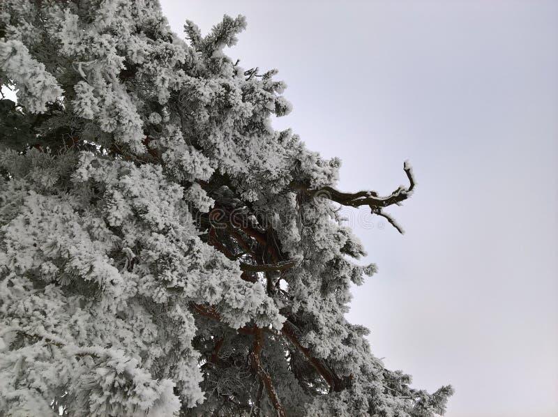 Pijnboom in Sneeuw en Hemel stock afbeeldingen