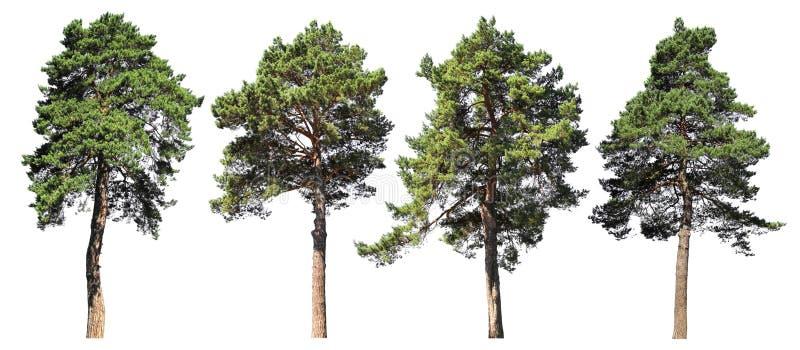 Pijnboom, sparren, spar Naald bosreeks geïsoleerde bomen op witte achtergrond stock foto's