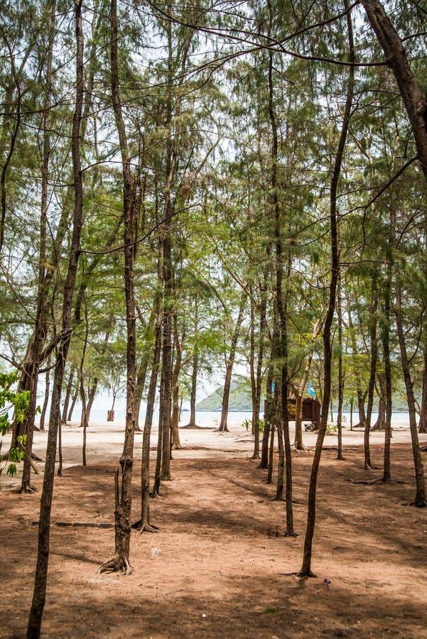 Pijnboomaanplantingen in de provincie dichtbij Tham Phraya Nakhon stock afbeeldingen