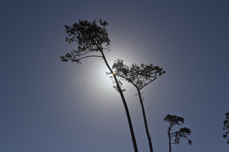 Pijnboombomen, achterverlichting Dag voor Nacht royalty-vrije stock foto's