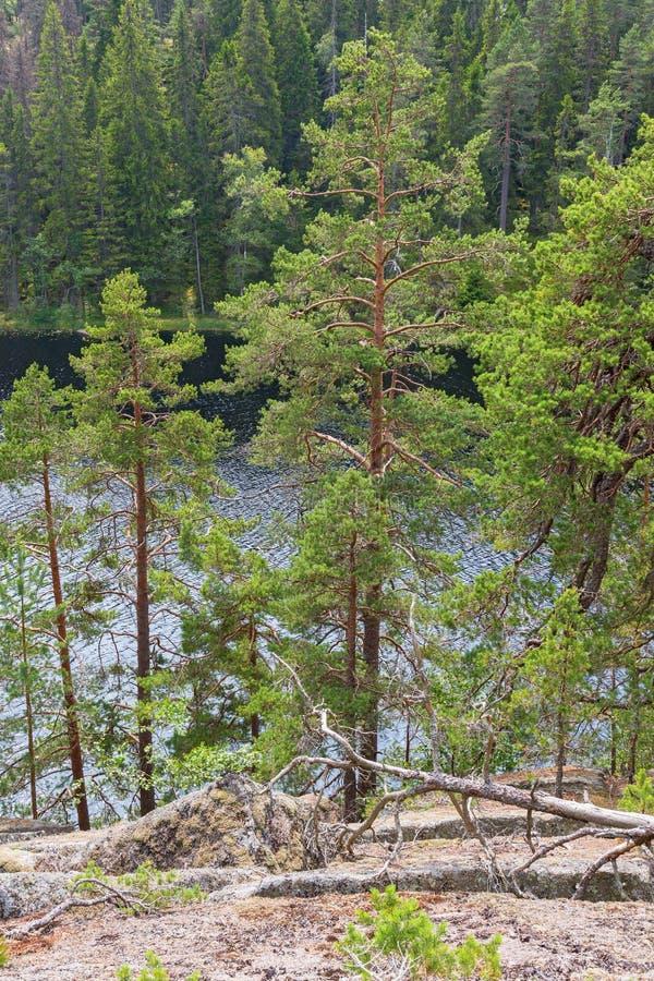 Pijnboombomen bij een bosmeer stock foto