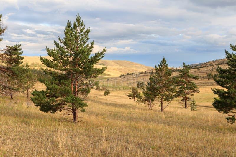 Pijnboombomen in de steppe royalty-vrije stock afbeeldingen