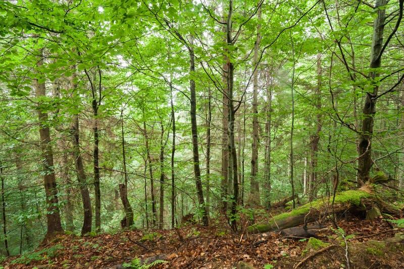 Pijnboombomen en varens die in diep Karpatisch hooglandbos groeien royalty-vrije stock afbeelding