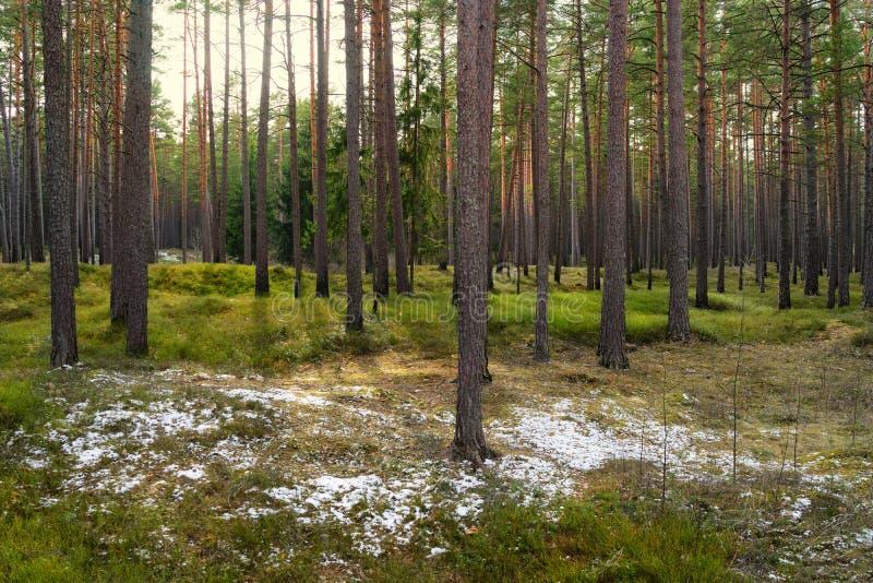 Pijnboombomen in het park met groene gras en eilanden van sneeuw in e stock foto