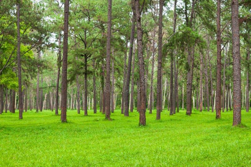 Pijnboombomen, lange groene boomstammen, Mooie Pijnboombomen en groen gras stock afbeeldingen