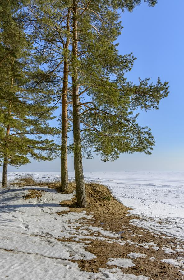 Pijnboombomen op de kust van de Golf van Finland op de Zonnige lente royalty-vrije stock foto