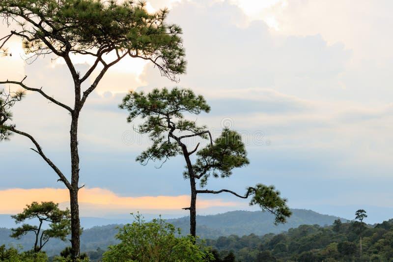 Pijnboombomen in zonsondergang en nevelige heuvels op achtergrond royalty-vrije stock foto's