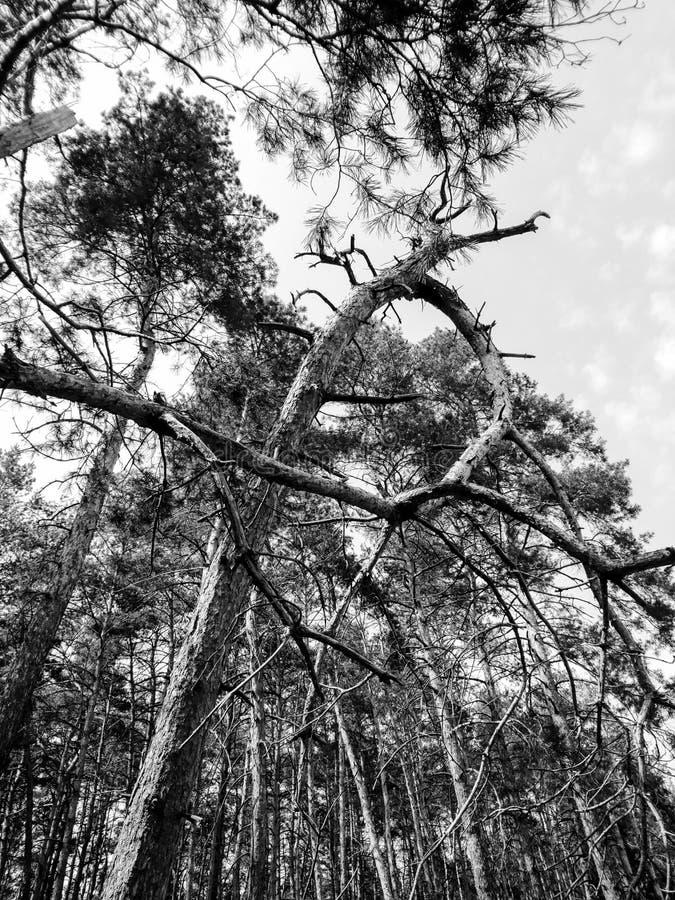 Pijnboombomen in zwart-wit royalty-vrije stock afbeelding