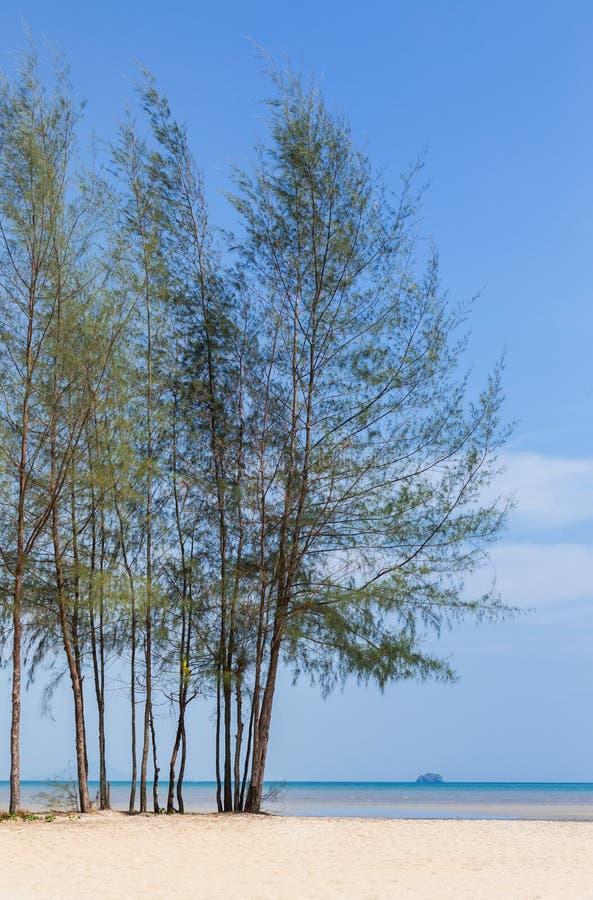 Pijnboomboom (Casuarina-equisetifolia) op het strand stock afbeelding