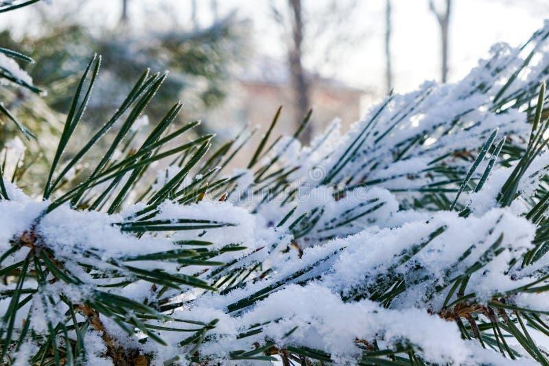 Pijnboomboom in de winter, naalden in de sneeuw na een sneeuwval, koude macro, achtergrond stock foto's