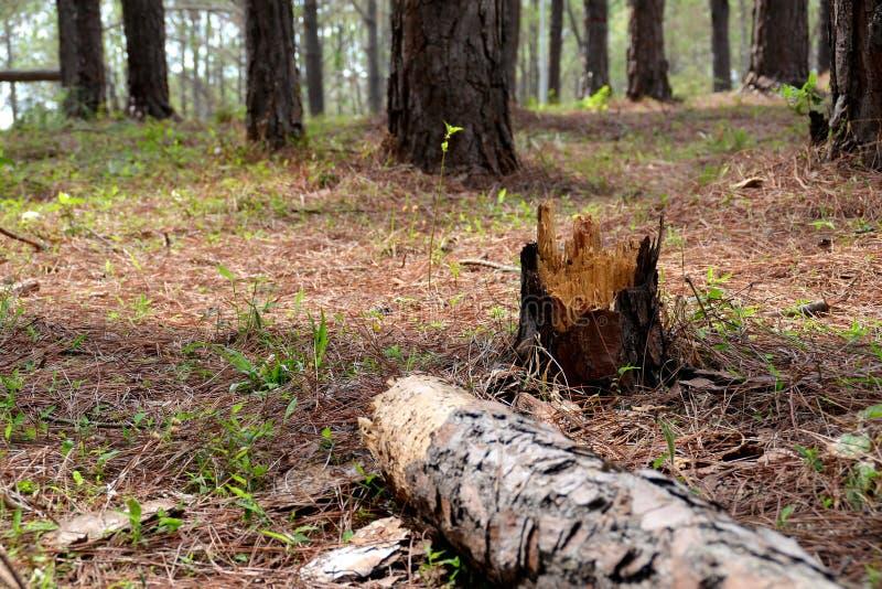 Pijnboomboom Forrest royalty-vrije stock afbeelding