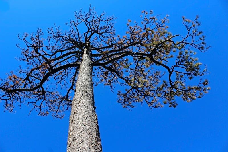 Pijnboomboom in het Nationale Park van Yosemite stock afbeelding