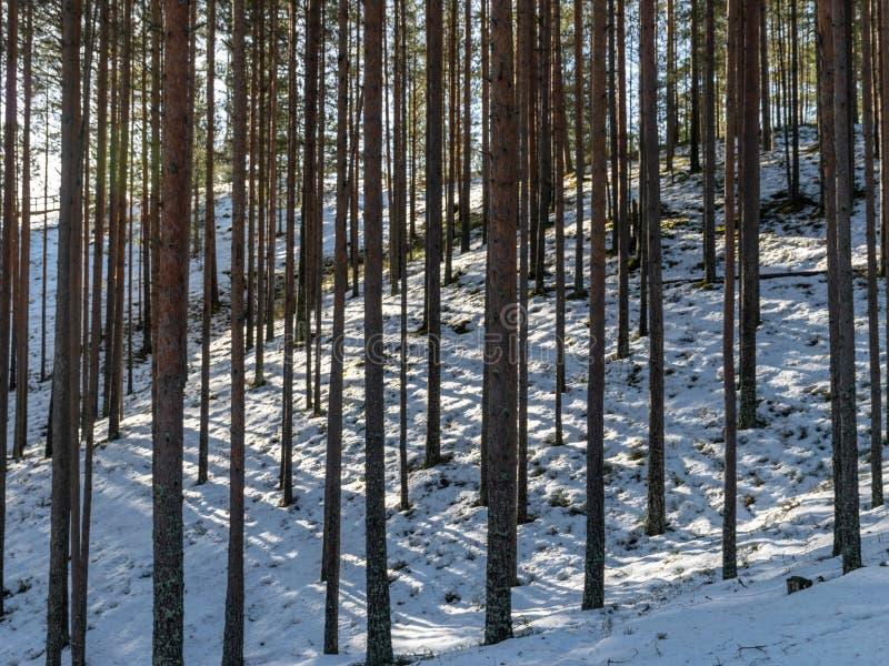 Pijnboomboomstammen in het bos royalty-vrije stock afbeelding