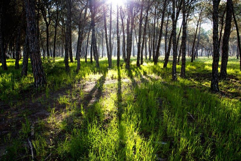 Pijnboombos bij het Nationale Park van Donana stock fotografie