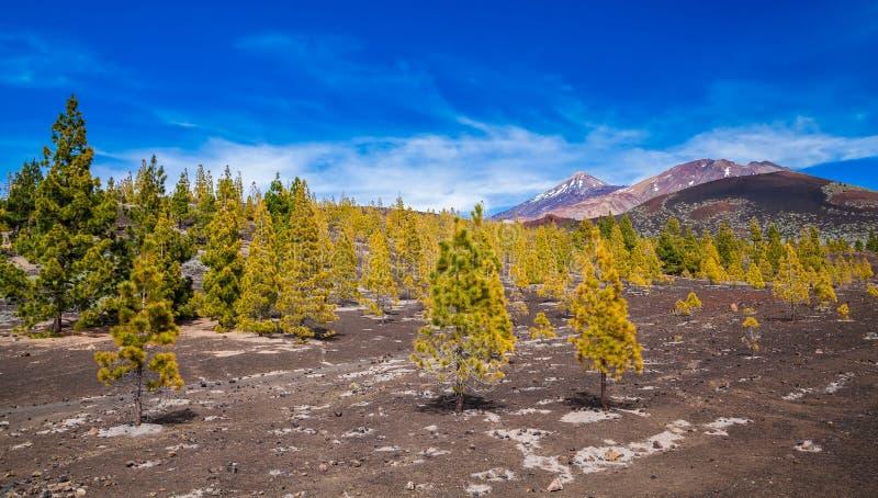 Pijnboombos bij het Nationale park van Teide royalty-vrije stock foto's