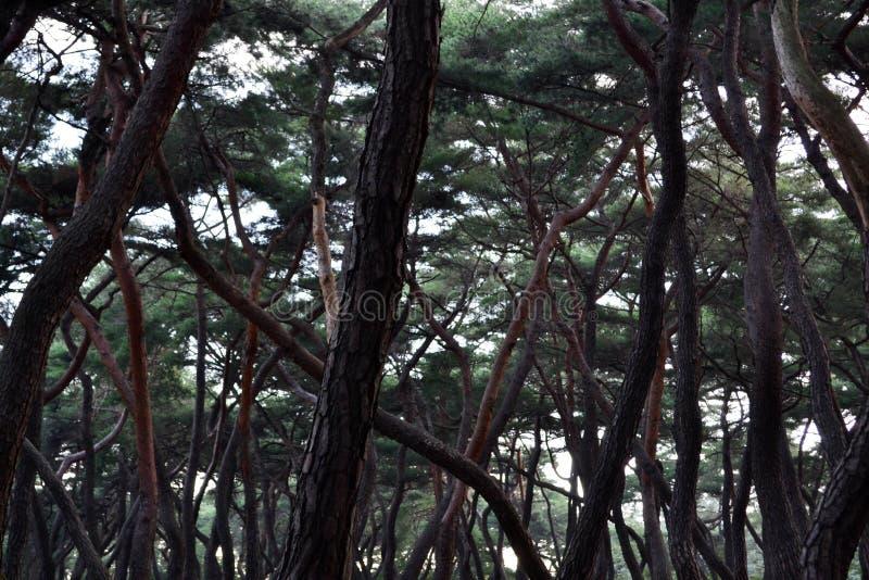 Pijnboombos in Gyeongju Blijkbaar beroemd voor fotografen en stock foto