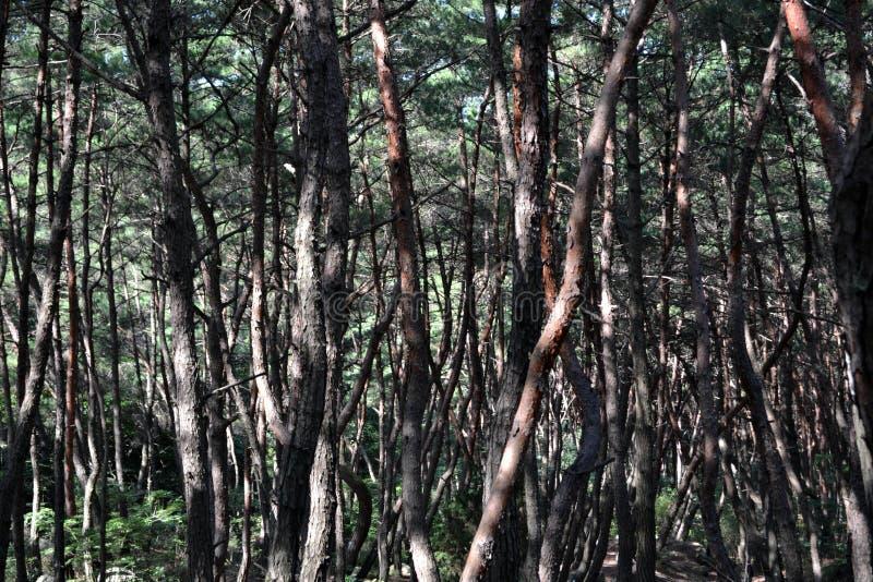 Pijnboombos in Gyeongju Blijkbaar beroemd voor fotografen en royalty-vrije stock fotografie