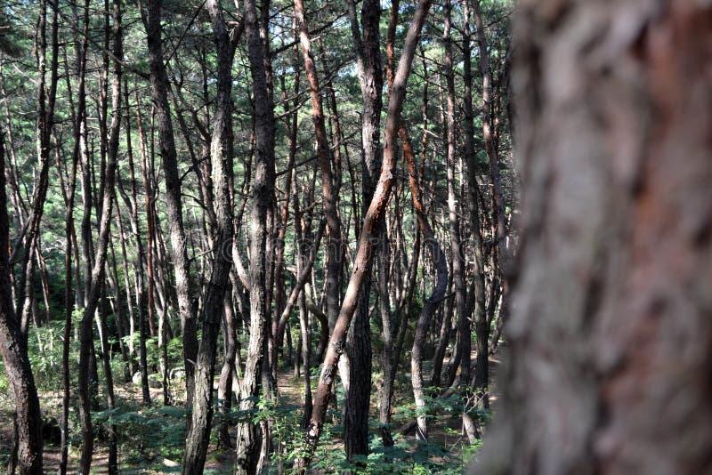 Pijnboombos in Gyeongju Blijkbaar beroemd voor fotografen en royalty-vrije stock afbeelding