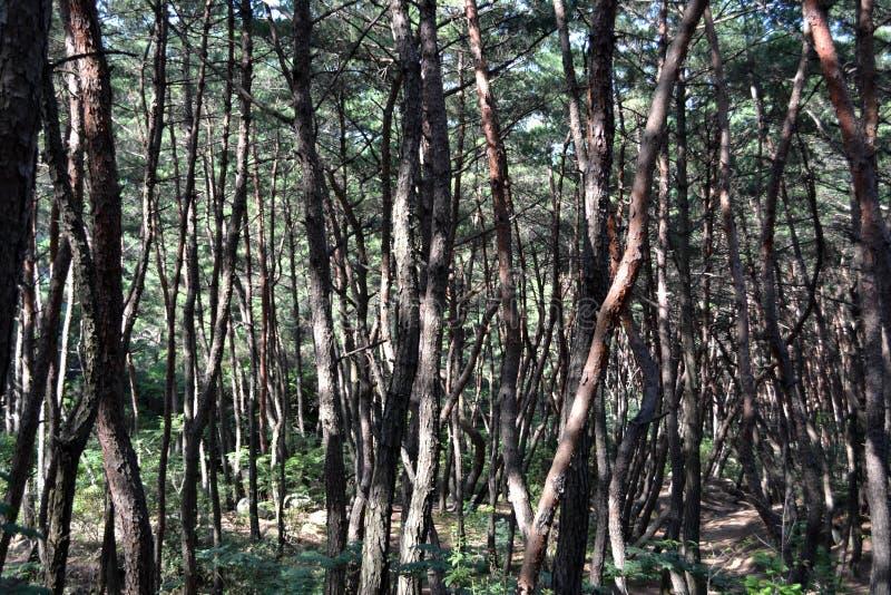 Pijnboombos in Gyeongju Blijkbaar beroemd voor fotografen en royalty-vrije stock foto