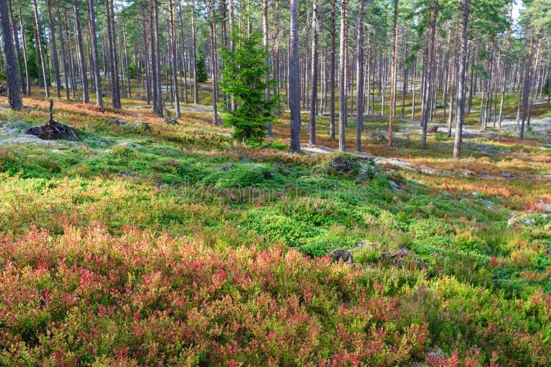 Pijnboombos met bosbessenstruiken stock foto