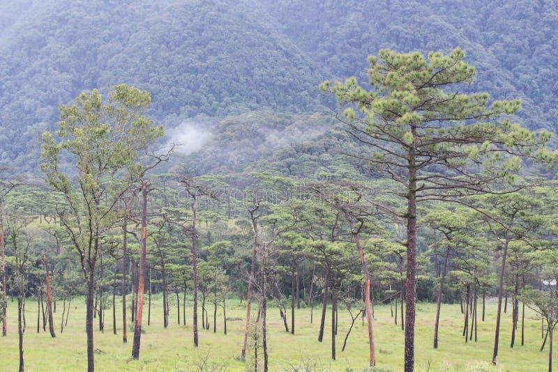 Pijnboombos op de berg royalty-vrije stock afbeelding