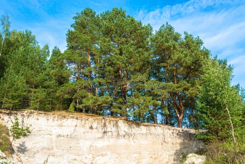 Pijnboombos op de rand van een zandige klip / Mooie groene pijnboom royalty-vrije stock afbeelding