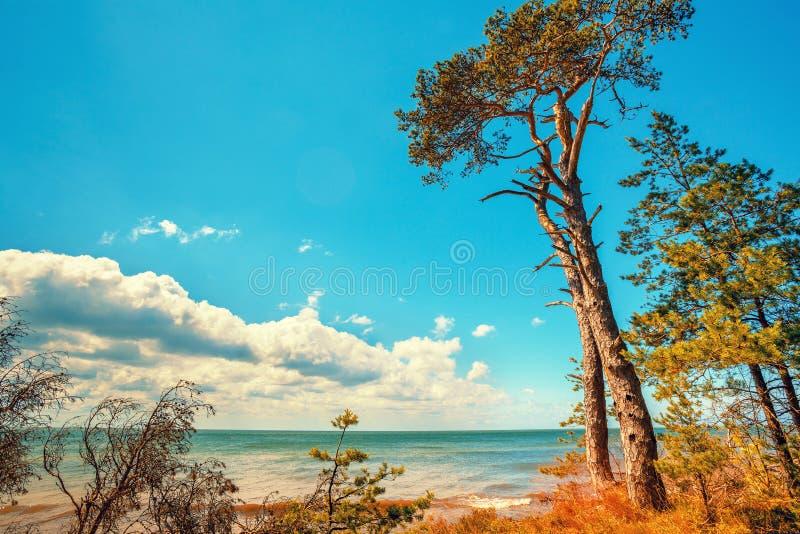 Pijnboombos op het strand in de zomer royalty-vrije stock fotografie