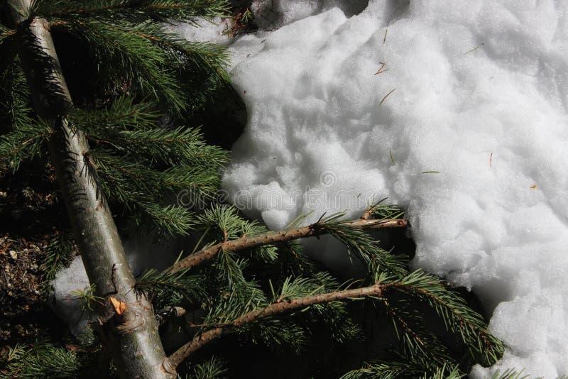 Pijnboomnaalden in de Wintersneeuw stock foto