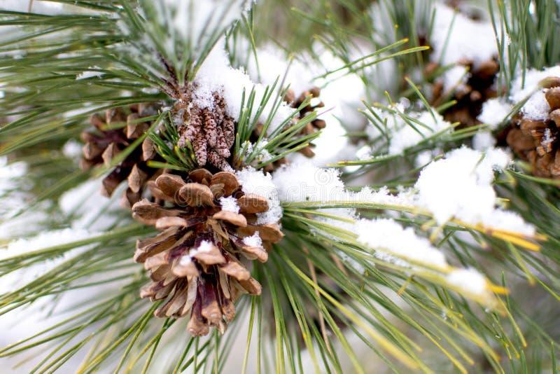 Pijnboomnaalden en codes met sneeuw stock afbeeldingen