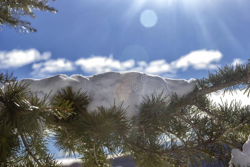 Pijnboomnaalden met sneeuw royalty-vrije stock foto's