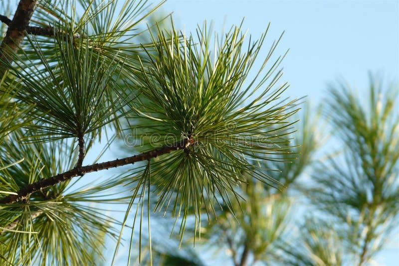 Pijnboomtak met lange naalden tegen de blauwe hemel stock foto