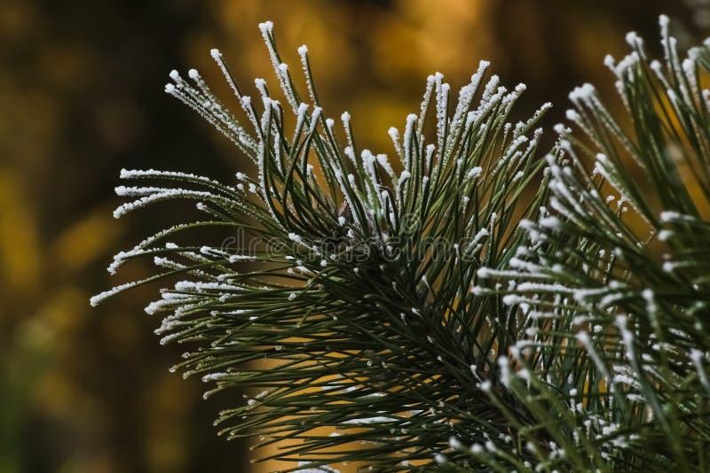 Pijnboomtak met sneeuw die dichte omhooggaand wordt behandeld royalty-vrije stock foto