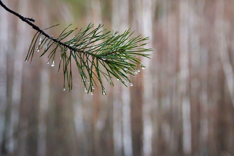 Pijnboomtak met waterdalingen op naalden, sparren na regen stock foto's