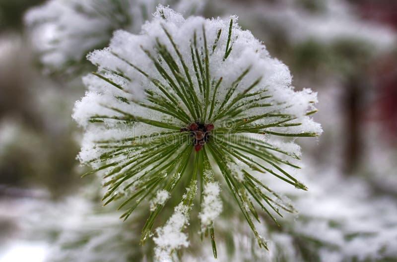 Pijnboomtakken in de sneeuw, macro Snow-covered naalden van een altijdgroene boom royalty-vrije stock afbeelding
