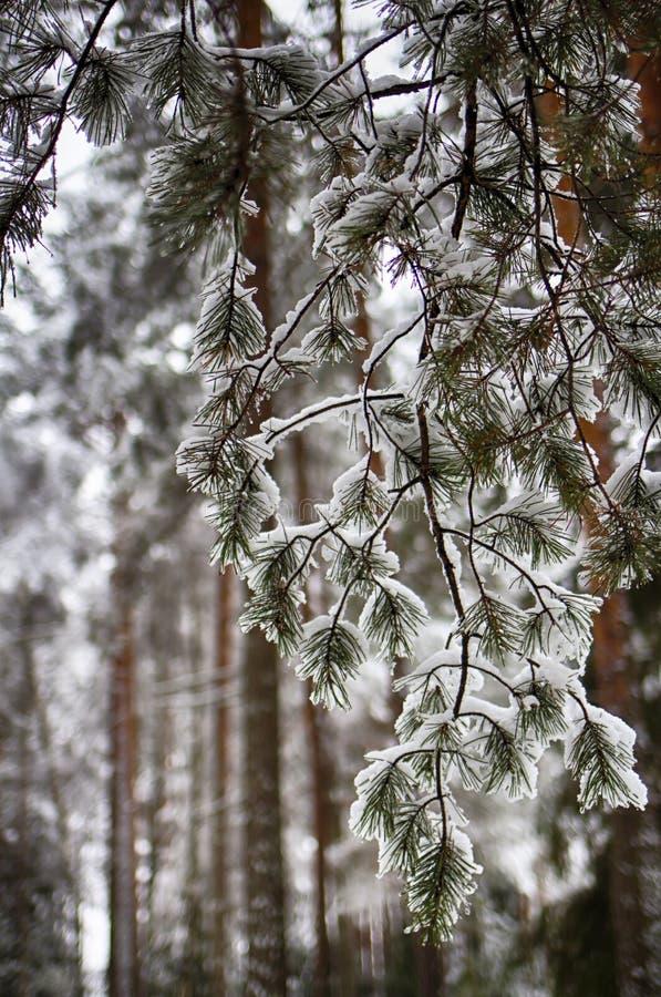 Pijnboomtakken in de sneeuw, macro Snow-covered naalden van een altijdgroene boom royalty-vrije stock fotografie