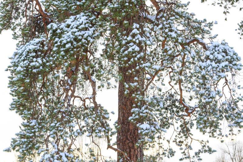 Pijnboomtakken gestold met sneeuw stock afbeelding