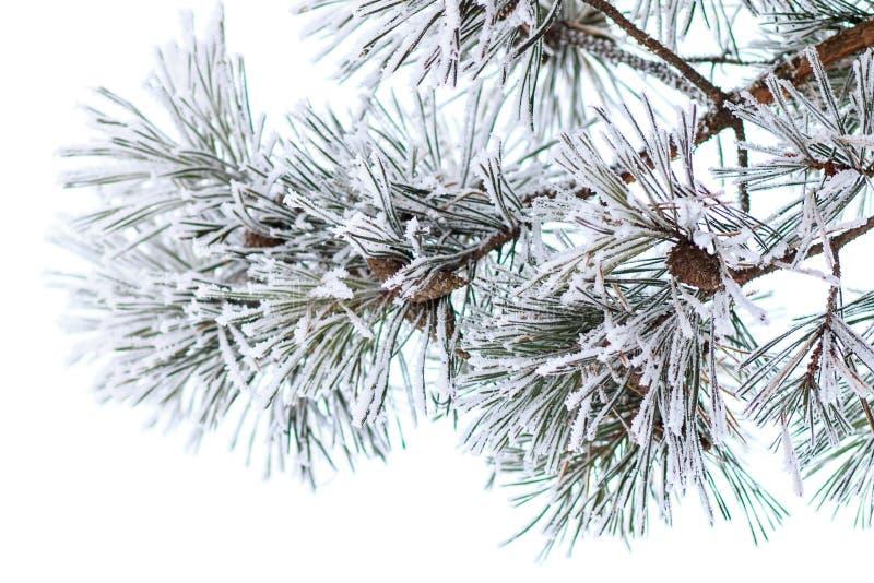Pijnboomtakken in hoorn De achtergrond van de de winterochtend stock afbeelding